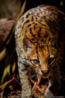 leoparduspardalis
